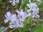 small blue irises