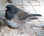 'Oregon' junco